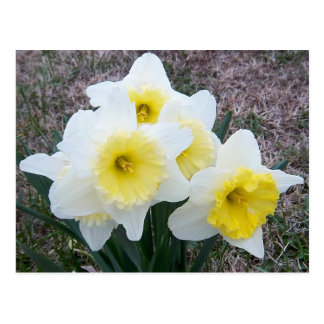 Apenas um Daffodil pequeno… Cartão Postal
