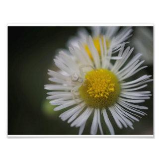 Aranha do caranguejo em uma flor impressão de foto