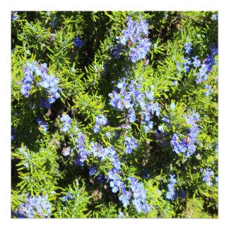 arbusto de florescência do rosemary foto artes