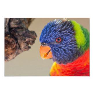 Arco-íris Lorikeet Impressão De Foto