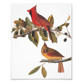 Arte do vintage de Audubon dos pássaros do Impressão De Foto