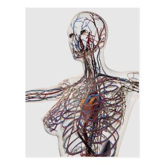 Artérias, veias, e sistema linfático 1 cartao postal