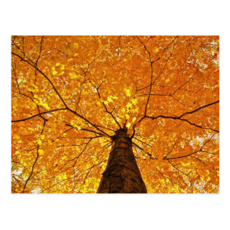 Árvore de bordo amarela no outono cartão postal