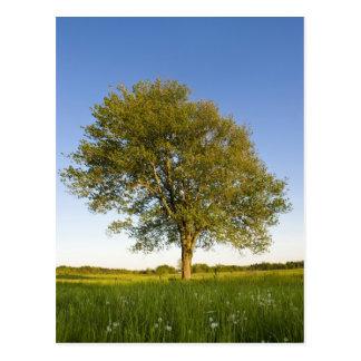 Árvore de bordo solitária no campo do feno na cartão postal