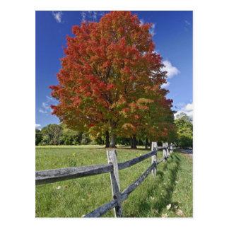 Árvore de bordo vermelho em cores do outono, perto cartão postal