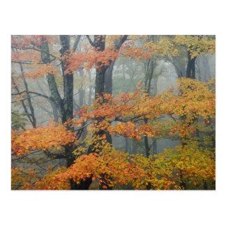 Árvore de bordo vermelho, rubrum de Acer, retrato Cartão Postal