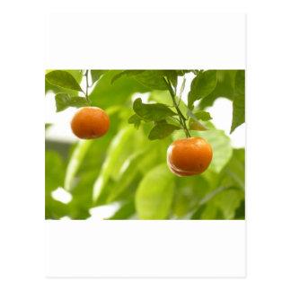 Árvore e frutas de mandarino cartão postal