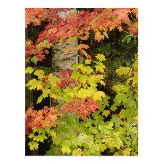 Árvores de bordo do outono e árvore de vidoeiro, cartão postal
