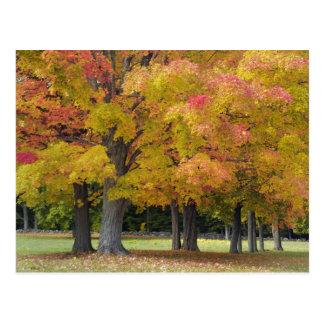 Árvores de bordo em cores do outono, perto da cartão postal
