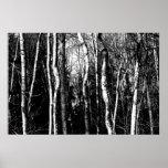árvores de vidoeiro pôsteres