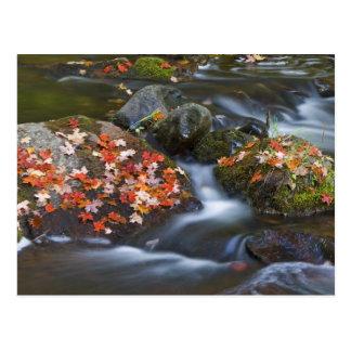 As folhas de bordo vermelhas atapetam as rochas no cartão postal