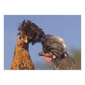 As galinhas polonesas engraçadas 2 tomaram partido cartão de visita grande