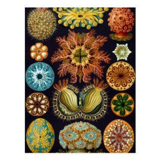 Ascidiae por Ernst Haeckel, animais marinhos do Cartão Postal