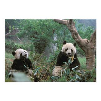 Ásia, China, Chengdu. Santuário da panda gigante - Impressão De Foto