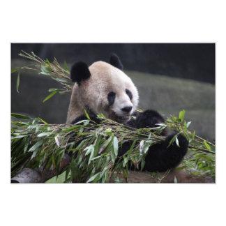 Ásia, China Chongqing. Panda gigante no Fotos