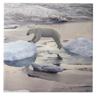 Ásia, Rússia, ártico Siberian. Urso polar
