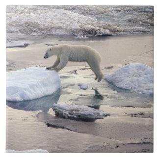 Ásia, Rússia, ártico Siberian. Urso polar Azulejo Quadrado Grande