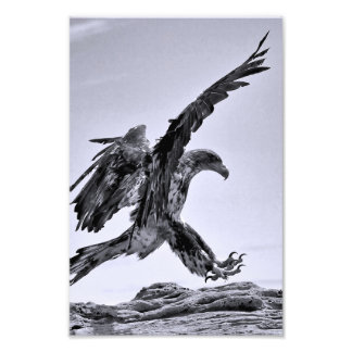 Aterragem juvenil da águia americana - impressão d arte de fotos