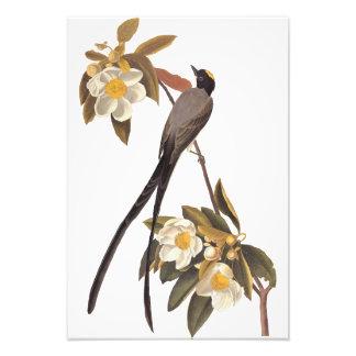 Audubon Forquilha-Atou a arte do vintage do Impressão De Foto