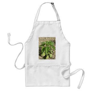 Avental Única planta fresca da manjericão que cresce no