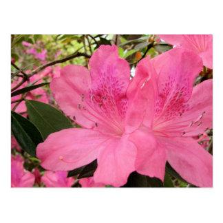 Azáleas do rosa quente cartão postal