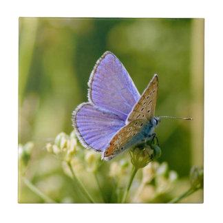 Azulejo bonito da borboleta