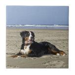Azulejo bonito da foto do cão de montanha de Berne