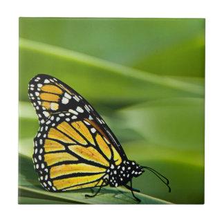 Azulejo do design da borboleta de monarca