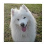 Azulejo ou trivet bonito da foto do cão do Samoyed