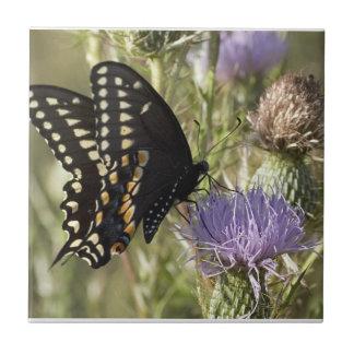 Azulejo preto da borboleta de Swallowtail