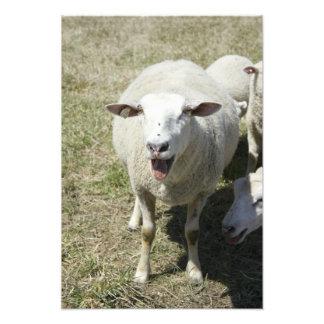 Baa Baa'ing dos carneiros na câmera em uma fazenda Impressão De Foto