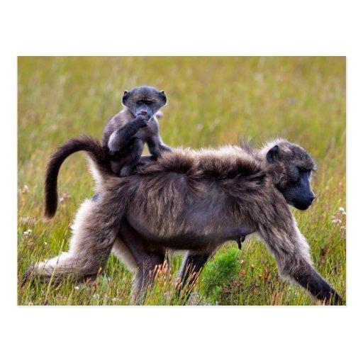 Babuínos selvagens da mãe e do bebê, África do Sul Cartões Postais