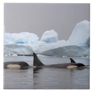 baleias de assassino (orcas), orca do Orcinus,