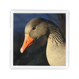 Bandeja De Acrílico Ganso de pato bravo europeu bonito