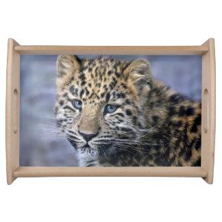 Bandeja de Cub do leopardo
