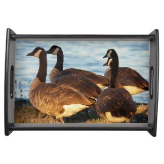Bandeja Foto dos gansos de Canadá