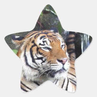 Banhando o tigre de Sumatra Adesivos Estrelas