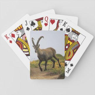 Baralho Íbex selvagem alpino, da cabra, ou steinbock