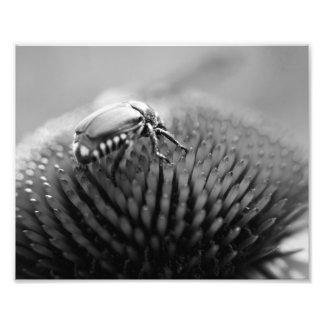 Besouro Impressão De Foto