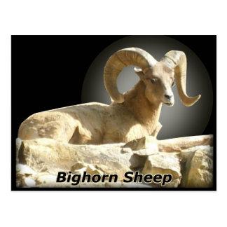 Bighorn na obscuridade cartão postal
