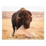 Bisonte de Oklahoma, fotografia 2011 de Rebecca Al