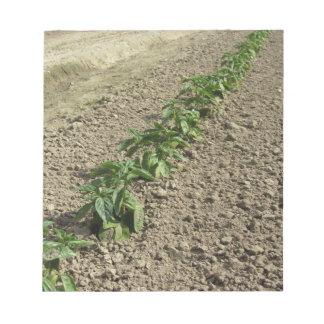 Bloco De Notas Plantas frescas da manjericão que crescem no campo