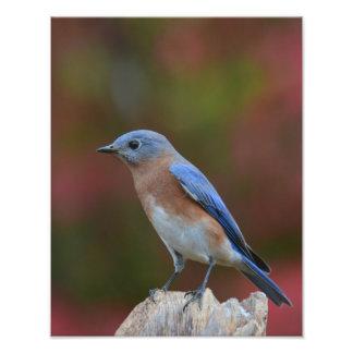 Bluebird oriental impressão de foto