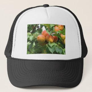 Boné Abricós maduros que penduram na árvore. Toscânia,