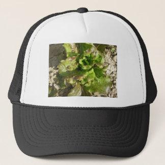 Boné Alface fresca que cresce no campo. Toscânia,