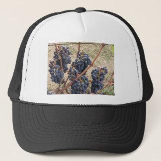 Boné Uvas vermelhas na videira. Toscânia, Italia