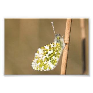 borboleta da Alaranjado-ponta Foto