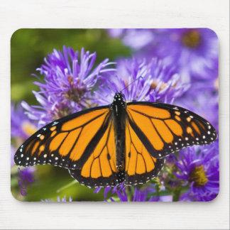 Borboleta de monarca de Mousepad em ásteres roxos