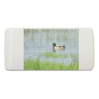 Borracha Pato masculino do pato selvagem que flutua na água