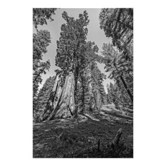 Bosque da sequóia vermelha em preto no branco